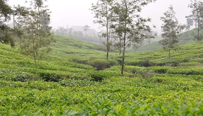 Tea Farms View