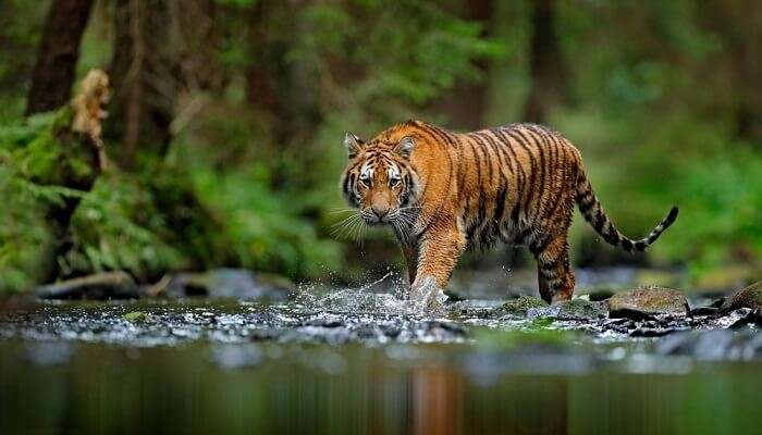 tiger strutting in the pool in Manas National Park