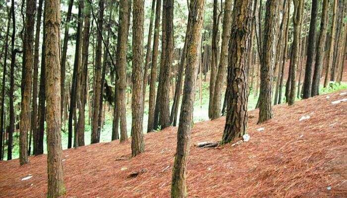 Pine Forests Trees