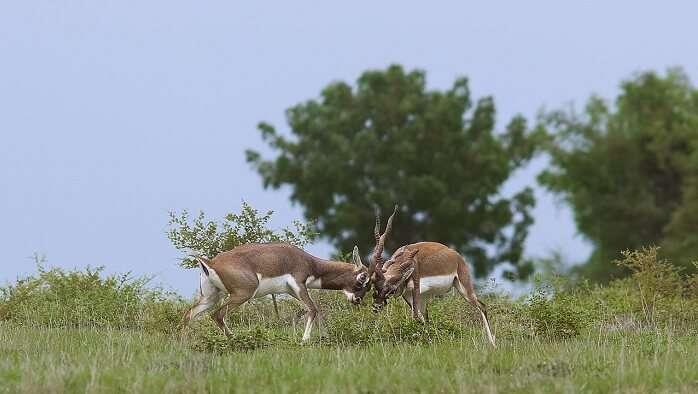 Rollapadu Wildlife Sanctuary, Andhra Pradesh