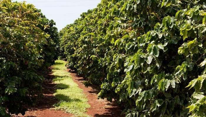 Coffee Plantations