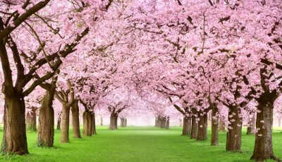 The beauty of the pink cherry blossom trees
