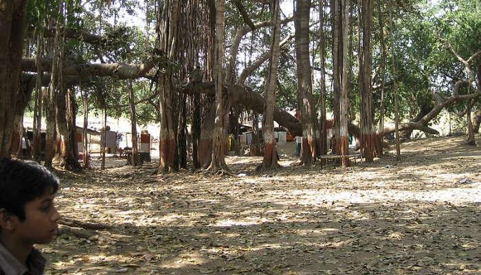 Lots of banyan trees