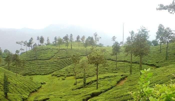 tea cultivation garden