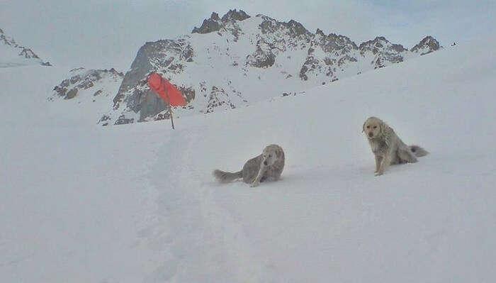 Mountain Dogs In Siachen In Snow