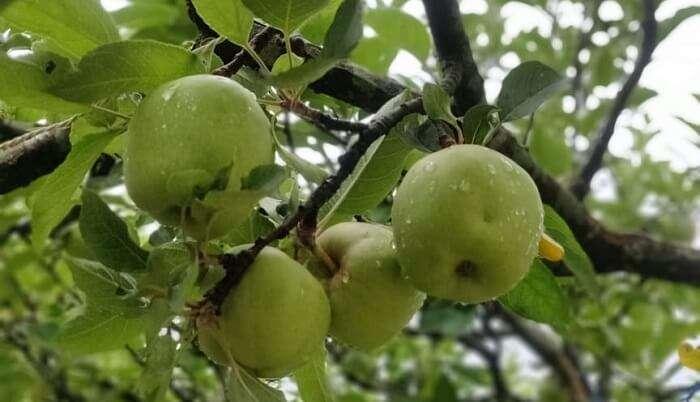 green apple pic