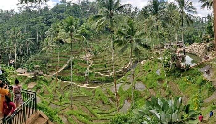 get to see the paddy fields in ubud