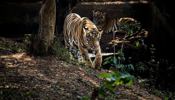 Tiger Strolling in a Jungle