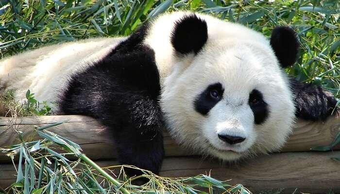 Panda in Atlantic zoo