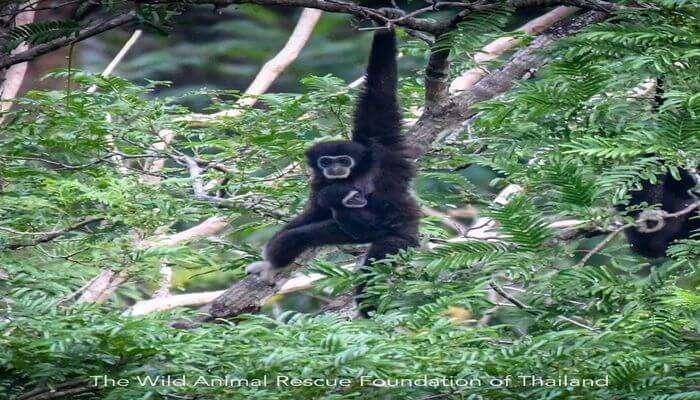 The Gibbon Rehabilitation Project in Phuket