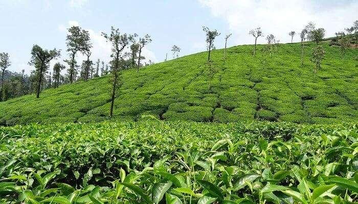 Coffee & Tea Plantation