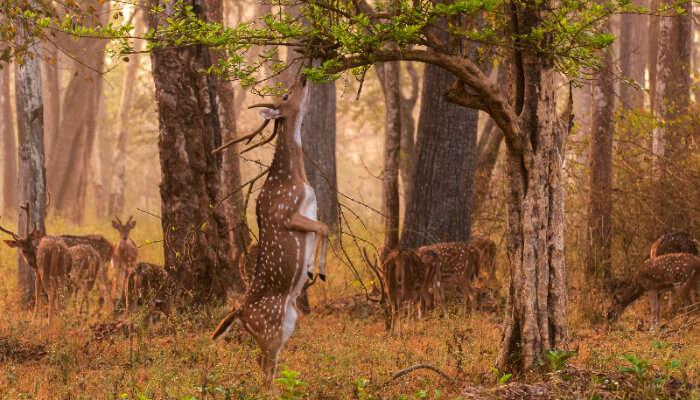 A deer at Nagarhole National Park, Coorg