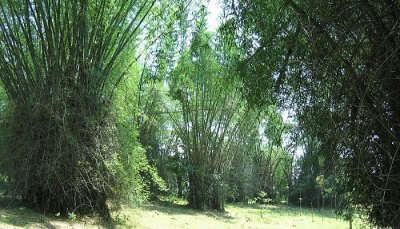 Wayanad Bamboo Forest