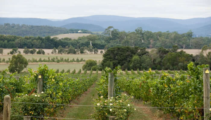 Winery Tour In Yarra Valley