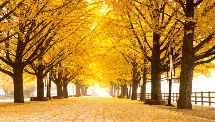 Asan Gingko Tree Road