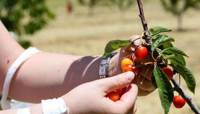 cherry picking festival