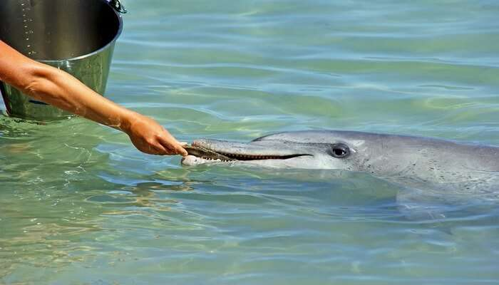 Feed Dolphins At Tangalooma Island Resort