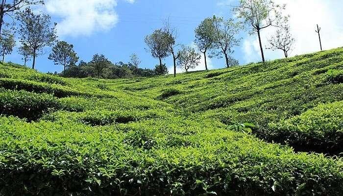 Coonoor Tea plantations