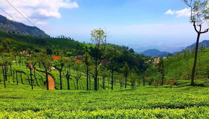 Ooty Tea Plantations
