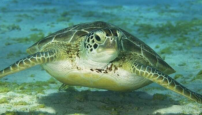 green-sea-turtle1
