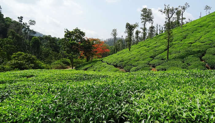 Coffee Plantations of Chikmagalur