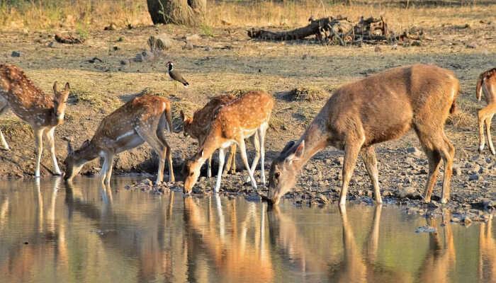 Deers at Ranthambore National Park