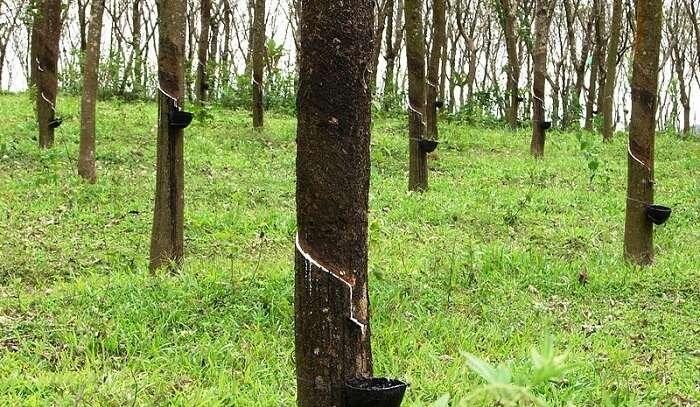 rubber production in kerala