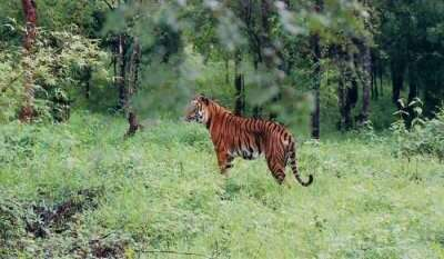 tiger in the picture