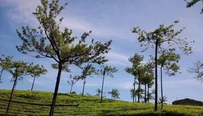 Tea_Estate